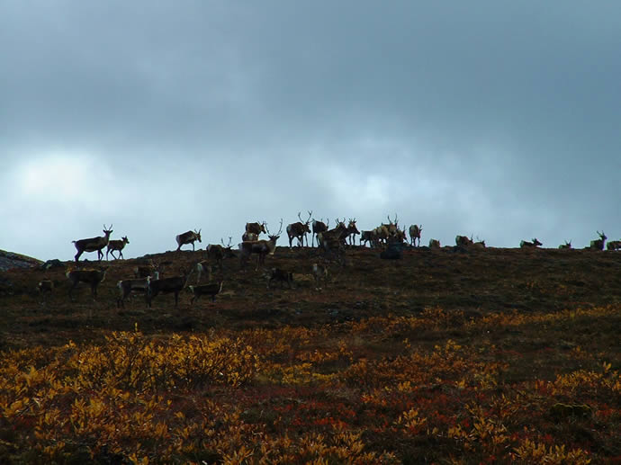 Barren Ground Caribou Migration