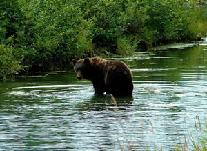 Stealthy Brown Bear Works Along a  Backwater Section
