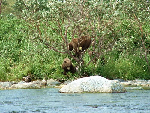 3 Brown Bear Cubs Play in a Willow Tree - ALASKA RAFT CONNECTION