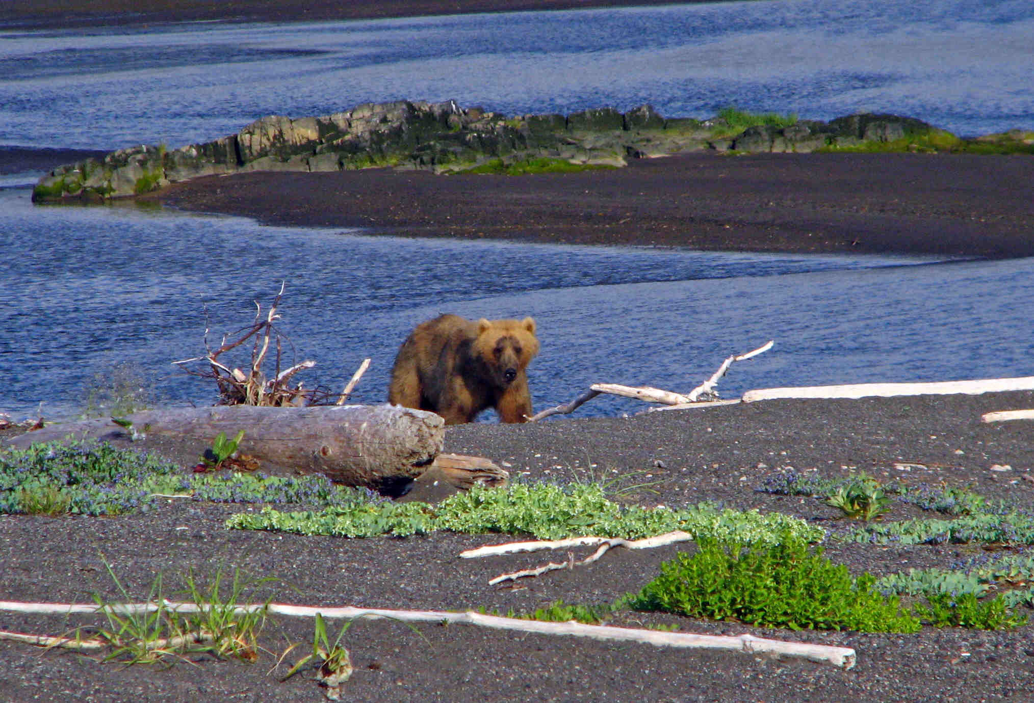 Coastal Brown Bear - Aniakchak Bay - ALASKA RAFT CONNECTION