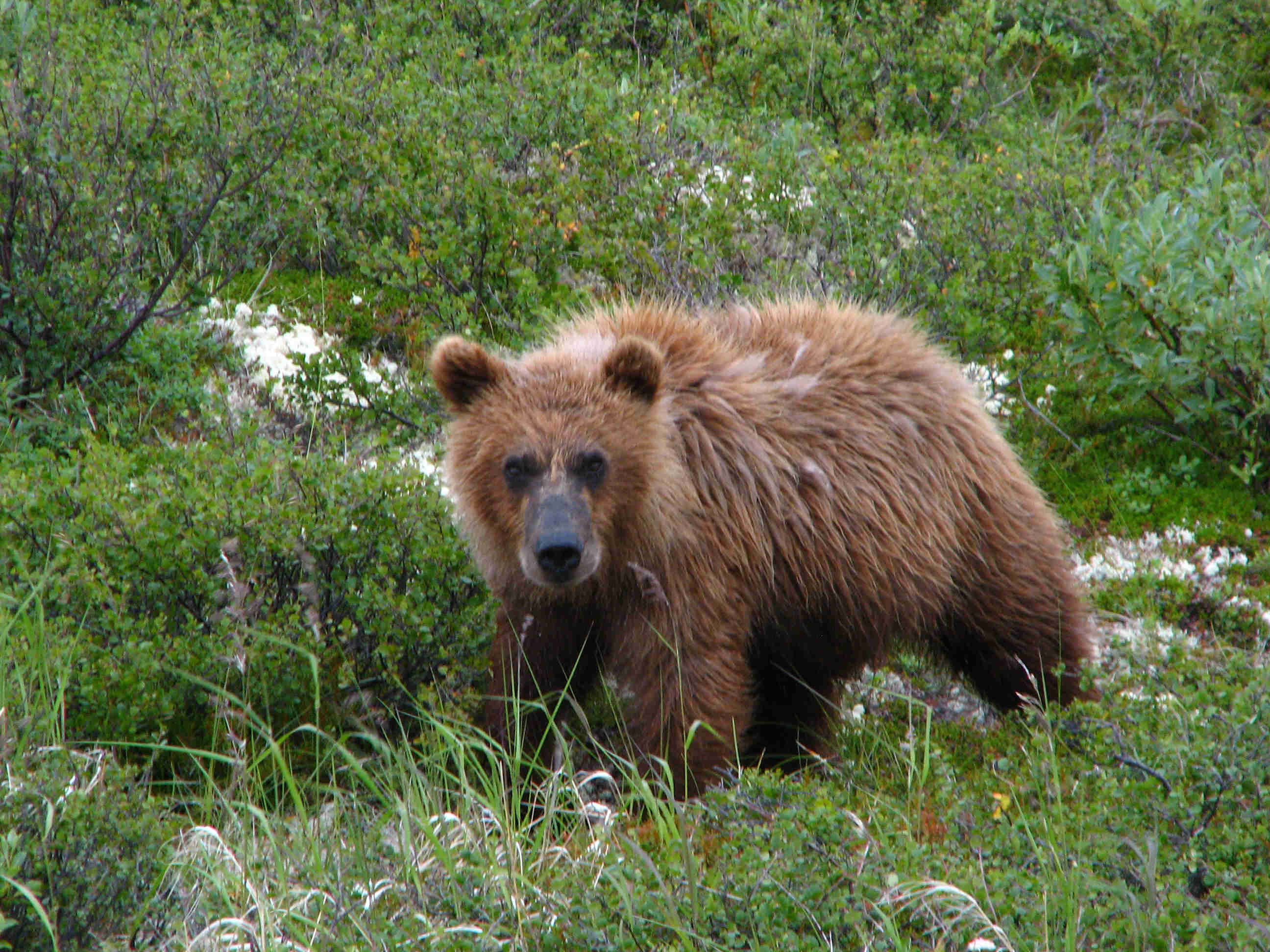 Curious yearling Brown Bear Cub - ALASKA RAFT CONNECTION