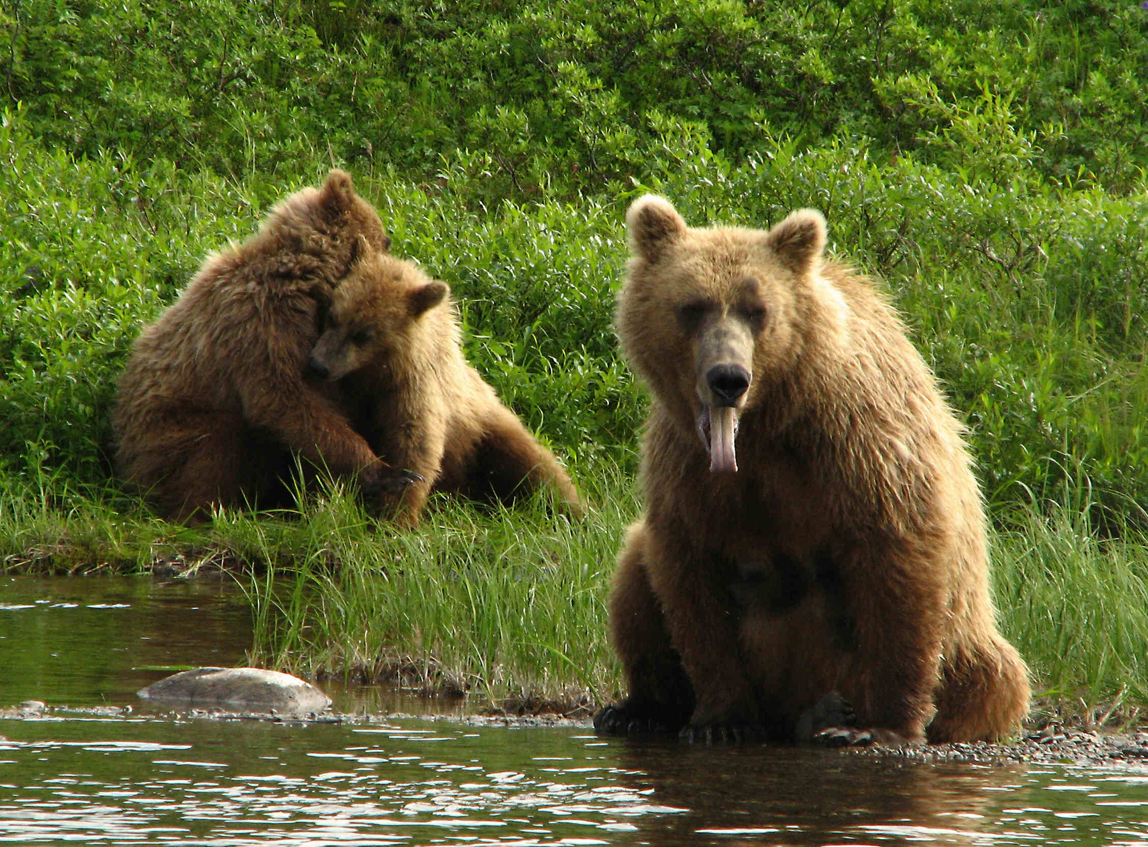 Brown Bear Sow and her playful cubs - American Creek - Katmai National Park - ALASKA RAFT CONNECTION