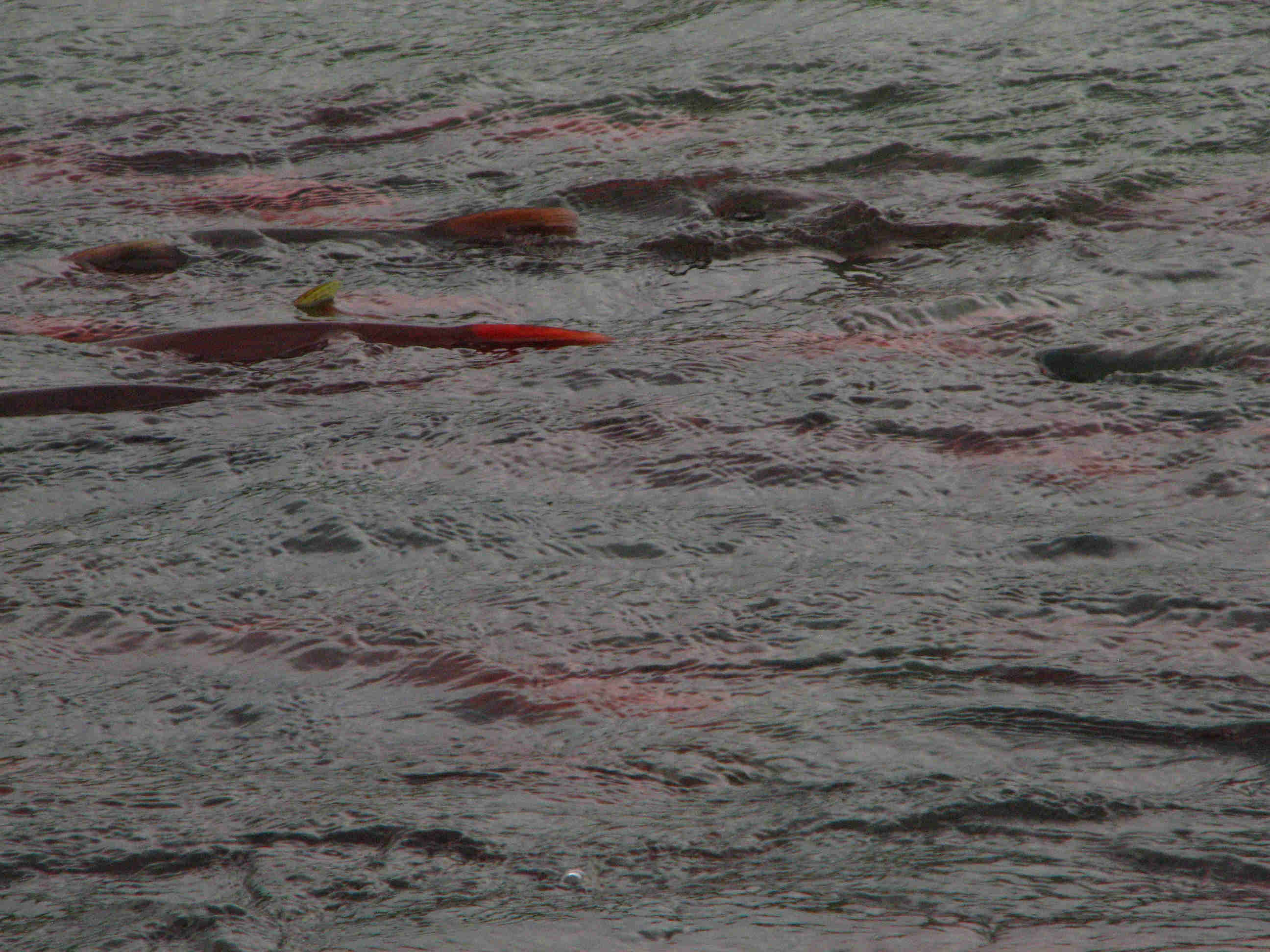 Fleshfest of Spawning Red Sockeye Salmon - ALASKA RAFT CONNECTION