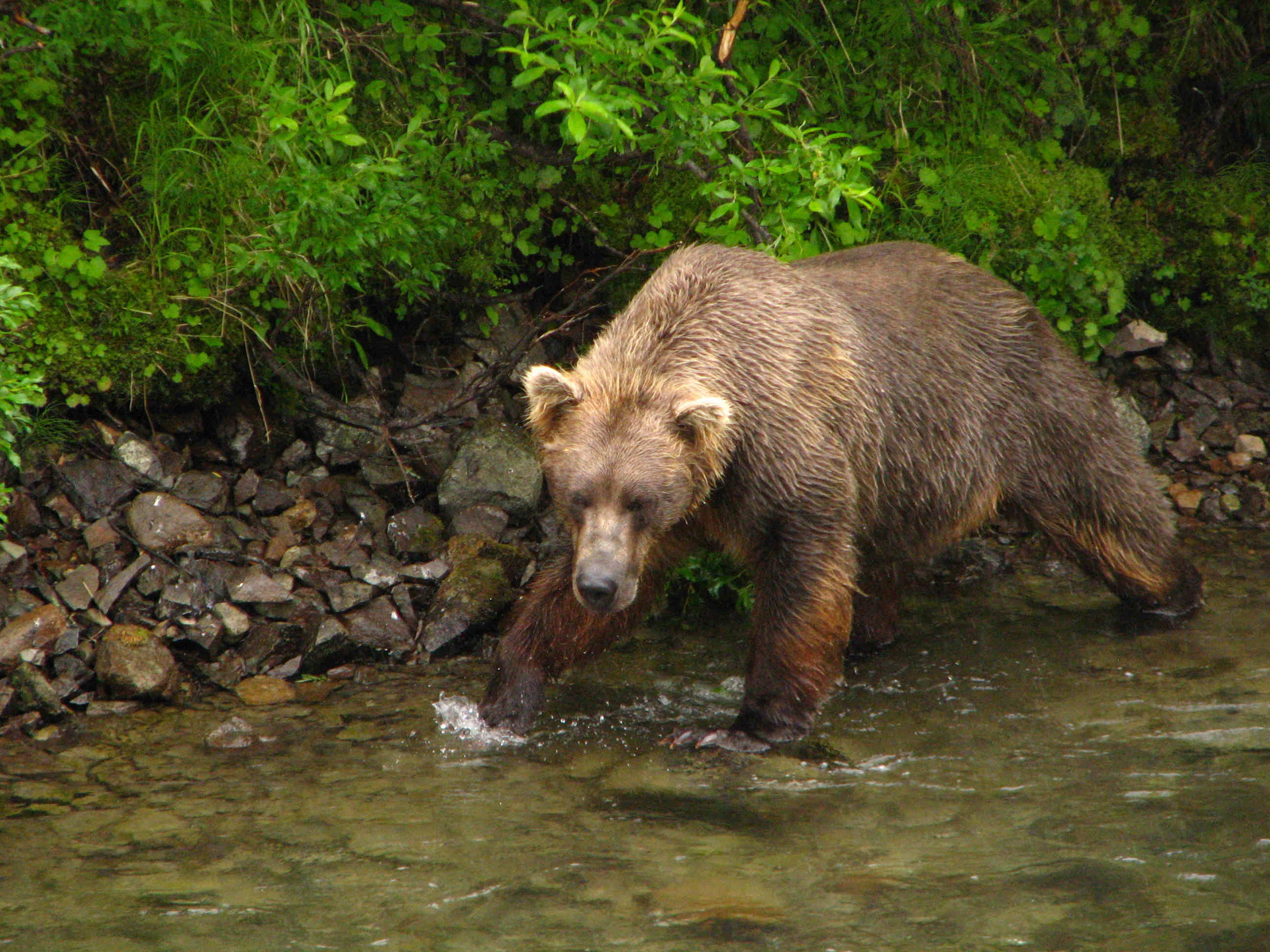 Brown Bear Fishing Sockeye Red Salmon - American Creek - Katmai National Park - ALASKA RAFT CONNECTION