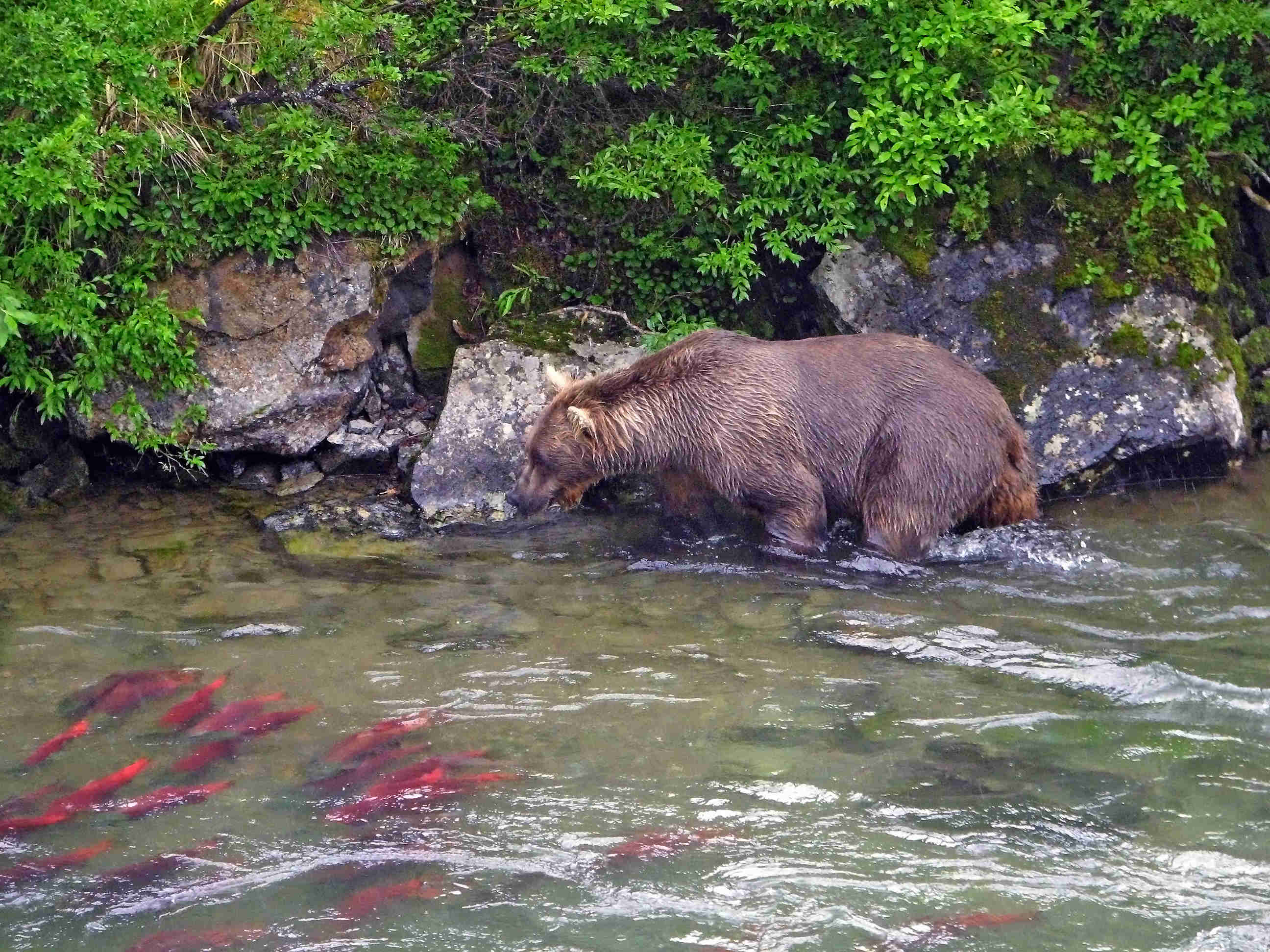 Brown Bear Fishing Sockey Red Salmon - American Creek - ALASKA RAFT CONNECTION