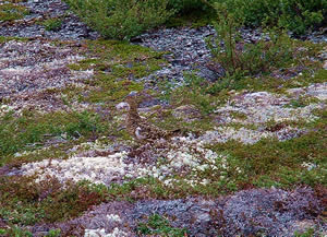 Ptarmigan Blends in - ALASKA RAFT CONNECTION