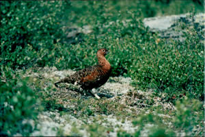 Willow Ptarmigan (Summer Plumage) - ALASKA RAFT CONNECTION